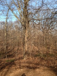 A tree's naked identity without hiding behind her springtime green finery!